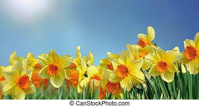 kék ég, virágzó, gyönyörű, nárciszok, mező, alatt