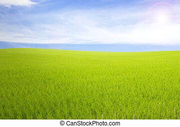 kék, backgroun, rizs, ég, felhős, mező, zöld, felhő, fű, táj