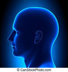 kék, fej, -, anatómia, kilátás, lejtő, betanul