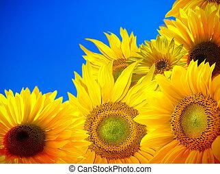 kék, mező, ég, napraforgó, virágzó
