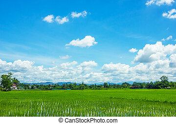 kék, mező, ég, rizs