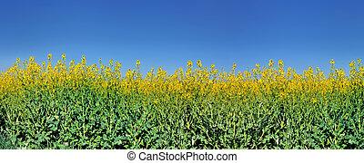 kék, mező, alatt, canola, ég, virágzó