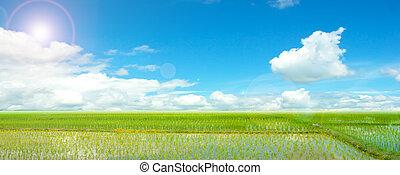 kék, mező, rizs, ég