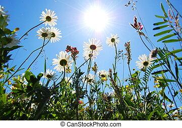 kék, nyár, virág, ég, százszorszép