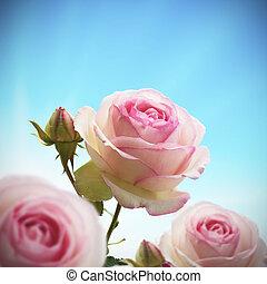 kék, rózsaszínű ég, rózsa, fa, feláll, egy, agancsrózsák, rózsabokor, becsuk, green., vagy, rügy