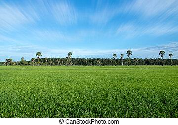 kék, rizs, ég, felhős, mező, zöld, felhő, háttér, fű, táj
