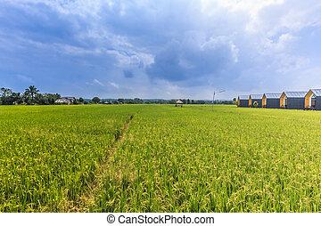 kék, rizs, ég terep, zöld, felhő, háttér, fű, táj