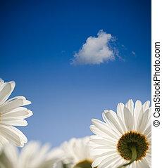 kék, visszaugrik virág, ég, százszorszép