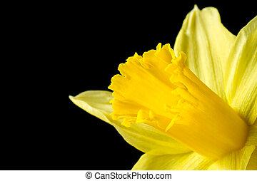 kép, nárcisz, feláll, sárga, fekete, becsuk
