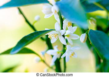 kínai mandarin, fa, virágzó