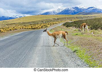 kíváncsi, láma, út, guanaco