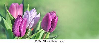 körképszerű, zöld háttér, rózsaszínű, tulipánok, virágzó, gyönyörű, kilátás
