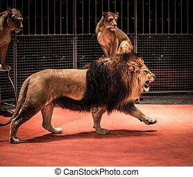 küzdőtér, gyalogló, nőstény oroszlán, ülés, cirkusz, oroszlán, nagyszerű, ordítozó