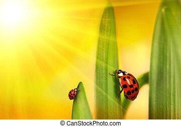 katicabogár, mászó, küllők, levél növényen, nap