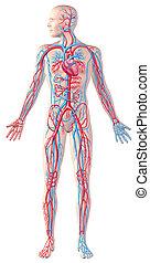 keringési, darabka, tele, ábra, kivágott, rendszer, alak, anatómia, emberi, included., út