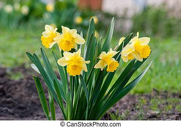 kert, sárga, gyönyörű, virágágyás, nárciszok