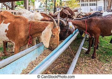 ket, táplálás, tanya, h hang, thaiföld, önvédelmi fegyverek, kecske