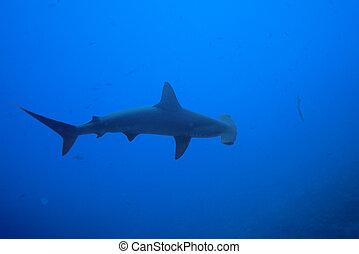 kilátás, felül, természet, cápa, egy, kalapácsfej