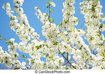 kivirul, cseresznye, napos nap, eredet