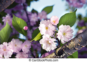 kivirul, eredet, bíbor, sakura