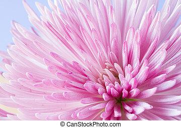 krizantém, kép, virág, feláll sűrű