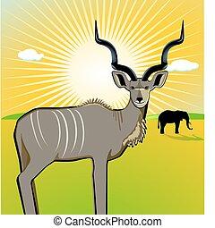 kudu, hím