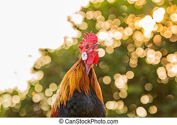 kukorékolás, kakas, csirke, reggel