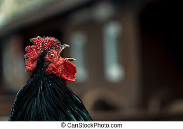 kukorékol, cock., kakas