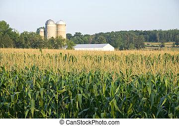 kukorica, mező