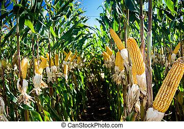 kukorica, termés