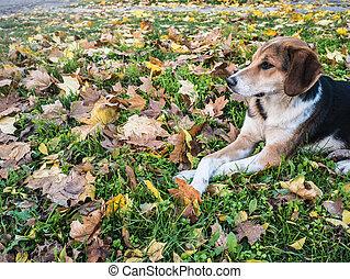 kutya, az, avaron, foltos