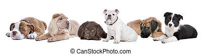 kutyus, háttér, csoport, nagy, fehér