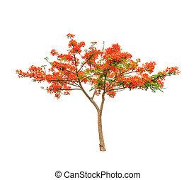 lángszerű, regia), királyi, fa, poinciana, tropikus, tre, (delonix, vagy