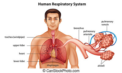 légzési, emberi, rendszer