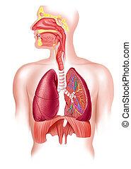 légzési, szakasz, rendszer, kereszt, tele, emberi