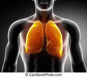 légzési, tüdő, fa, rendszer, emberi, hörg-