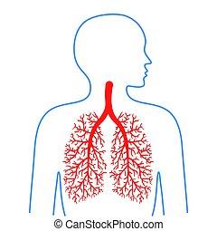 légzési, tüdő, system., hörgő, vektor, emberi, orvosság, health., illustrations.