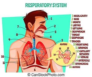 légzési, vektor, emberi, rendszer, ábra