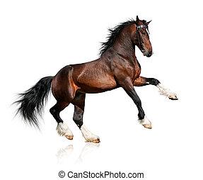 ló, öböl, fehér, elszigetelt