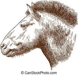 ló, metszés, ábra, przewalskis, fej