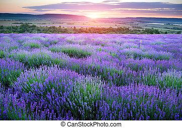 lavender., kaszáló