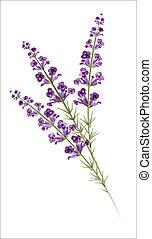 lavender., vízfestmény, vektor, drawing.