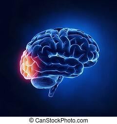 lebernyeg, -, occipital, agyonüt, emberi, röntgen, kilátás