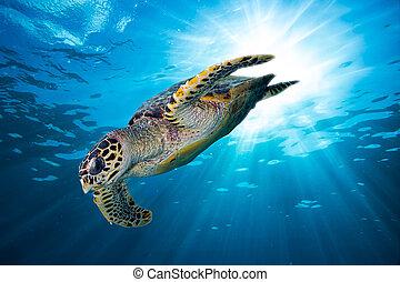 lefelé, hawksbill tengeri teknős, fejest ugrik, tenger, óceán, mély, kék
