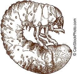 lehet, larve, rajz, metszés, bogár, ábra