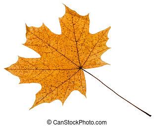 levél növényen, fa, elszigetelt, sárga, ősz, juharfa