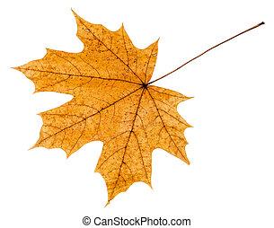 levél növényen, fa, hát, sárga, ősz, lejtő, juharfa