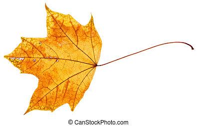 levél növényen, fa, sárga, ősz, narancs, juharfa