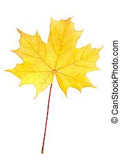 levél növényen, juharfa, ősz, sárga