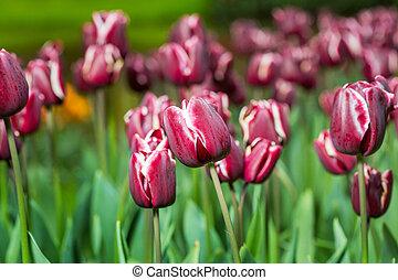 liget, tulipánok, csoport, burgundia